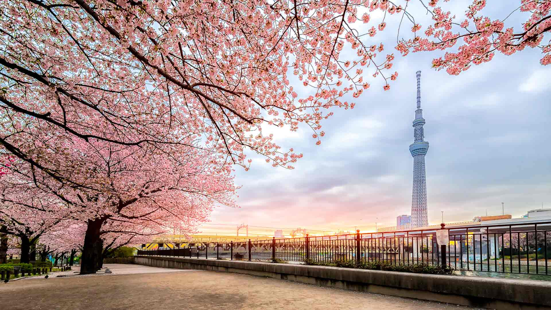 Where To See Cherry Blossoms In Tokyo Byfood